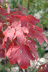 Scarlet Jewell™ Red Maple (Acer rubrum 'Bailcraig') at Sargent's Gardens