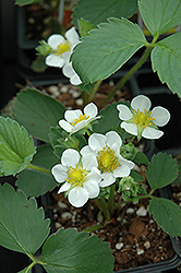 Fort Laramie Strawberry (Fragaria 'Fort Laramie') at Sargent's Gardens