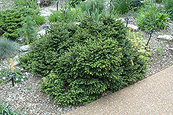 Pumila Norway Spruce (Picea abies 'Pumila') at Sargent's Gardens
