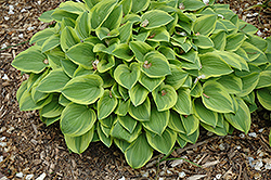 Grand Tiara Hosta (Hosta 'Grand Tiara') at Sargent's Gardens