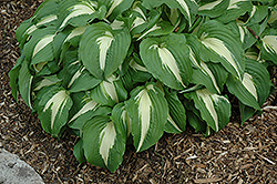 Night Before Christmas Hosta (Hosta 'Night Before Christmas') at Sargent's Gardens