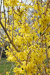 Northern Gold Forsythia (Forsythia 'Northern Gold') at Sargent's Gardens