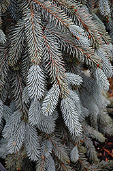 The Blues Colorado Blue Spruce (Picea pungens 'The Blues') at Sargent's Gardens