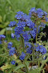 Blue Angel Summer Forget-Me-Not (Anchusa capensis 'Blue Angel') at Sargent's Gardens