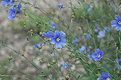 Sapphire Perennial Flax (Linum perenne 'Sapphire') at Sargent's Gardens