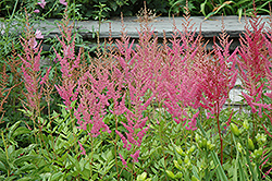 Visions in Pink Chinese Astilbe (Astilbe chinensis 'Visions in Pink') at Sargent's Gardens