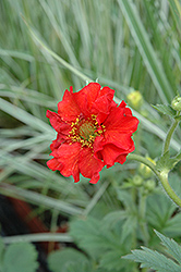 Red Dragon Avens (Geum 'Red Dragon') at Sargent's Gardens