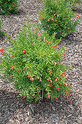 Dwarf Pomegranate (Punica granatum 'Nana') at Sargent's Gardens