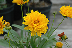 Sunray Tickseed (Coreopsis grandiflora 'Sunray') at Sargent's Gardens