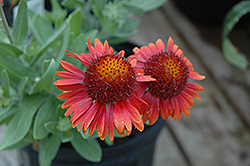 Arizona Red Shades Blanket Flower (Gaillardia x grandiflora 'Arizona Red Shades') at Sargent's Gardens