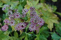 Abbey Road Masterwort (Astrantia major 'Abbey Road') at Sargent's Gardens