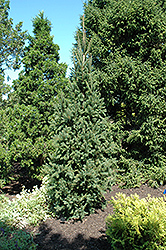 Columnar Norway Spruce (Picea abies 'Cupressina') at Sargent's Gardens