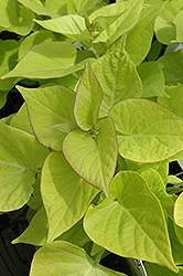Sweetheart Light Green Sweet Potato Vine (Ipomoea batatas 'Sweetheart Light Green') at Sargent's Gardens