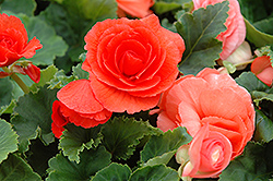 Nonstop® Deep Salmon Begonia (Begonia 'Nonstop Deep Salmon') at Sargent's Gardens