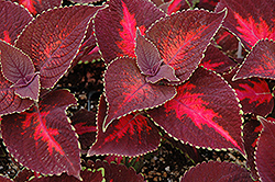 ColorBlaze® Kingswood Torch Coleus (Solenostemon scutellarioides 'Kingswood Torch') at Sargent's Gardens
