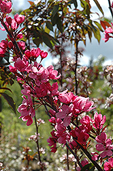 Show Time Flowering Crab (Malus 'Shotizam') at Sargent's Gardens