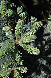 Compact  Blue Rocky Mountain Fir (Abies lasiocarpa 'Arizona Glauca Compacta') at Sargent's Gardens