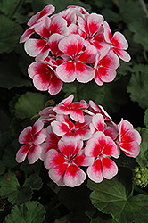 Candy Fantasy Kiss Geranium (Pelargonium 'Candy Fantasy Kiss') at Sargent's Gardens