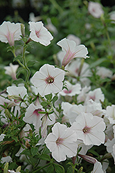 Supertunia Vista® Silverberry Petunia (Petunia 'Supertunia Vista Silverberry') at Sargent's Gardens