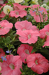 Supertunia® Bermuda Beach Petunia (Petunia 'Supertunia Bermuda Beach') at Sargent's Gardens