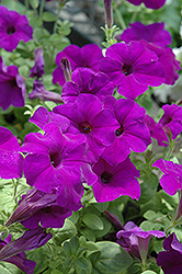 Easy Wave Blue Petunia (Petunia 'Easy Wave Blue') at Sargent's Gardens
