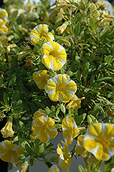 Superbells® Lemon Slice Calibrachoa (Calibrachoa 'Superbells Lemon Slice') at Sargent's Gardens