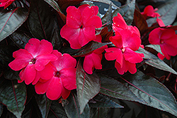 Celebration Electric Rose New Guinea Impatiens (Impatiens hawkeri 'Celebration Electric Rose') at Sargent's Gardens