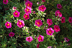 Superbells® Cherry Red Calibrachoa (Calibrachoa 'Superbells Cherry Red') at Sargent's Gardens