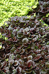 Black Scallop Bugleweed (Ajuga reptans 'Black Scallop') at Sargent's Gardens