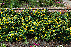 Little Lucky™ Pot Of Gold Lantana (Lantana camara 'Little Lucky Pot Of Gold') at Sargent's Gardens