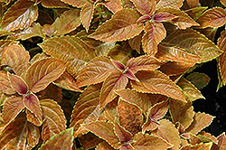 Rustic Orange Coleus (Solenostemon scutellarioides 'Rustic Orange') at Sargent's Gardens