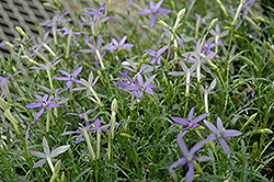 Beth's Blue Laurentia (Isotoma axillaris 'Beth's Blue') at Sargent's Gardens