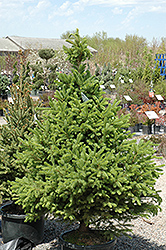 North Star Spruce (Picea glauca 'North Star') at Sargent's Gardens