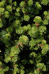 Sherwood Compact Norway Spruce (Picea abies 'Sherwood Compact') at Sargent's Gardens