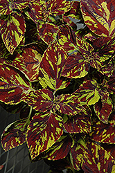 Splish Splash Coleus (Solenostemon scutellarioides 'Splish Splash') at Sargent's Gardens