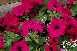 Supertunia® Royal Magenta™ Petunia (Petunia 'Supertunia Royal Magenta') at Sargent's Gardens