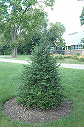 Canaan Fir (Abies balsamea 'var. phanerolepis') at Sargent's Gardens