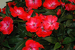 Infinity® Electric Coral New Guinea Impatiens (Impatiens hawkeri 'Infinity Electric Coral') at Sargent's Gardens