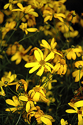 Electric Avenue Tickseed (Coreopsis verticillata 'Electric Avenue') at Sargent's Gardens