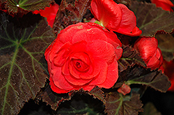 Nonstop® Mocca Cherry Begonia (Begonia 'Nonstop Mocca Cherry') at Sargent's Gardens