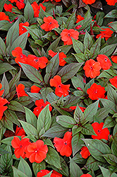 Divine™ Orange Bronze Leaf New Guinea Impatiens (Impatiens hawkeri 'Divine Orange Bronze Leaf') at Sargent's Gardens