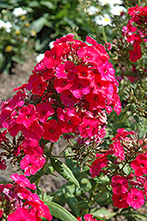 Red Flame Garden Phlox (Phlox paniculata 'Red Flame') at Sargent's Gardens