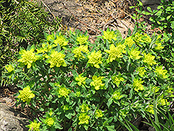 Cushion Spurge (Euphorbia epithymoides) at Sargent's Gardens