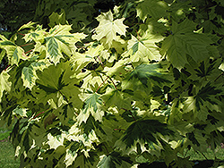Variegated Norway Maple (Acer platanoides 'Variegatum') at Sargent's Gardens
