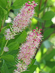 Ruby Spice Summersweet (Clethra alnifolia 'Ruby Spice') at Sargent's Gardens