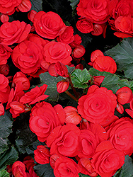Nonstop® Red Begonia (Begonia 'Nonstop Red') at Sargent's Gardens