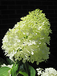 Limelight Hydrangea (Hydrangea paniculata 'Limelight') at Sargent's Gardens