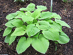 August Moon Hosta (Hosta 'August Moon') at Sargent's Gardens