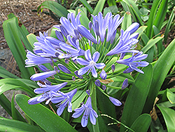 Queen Anne Agapanthus (Agapanthus 'Queen Anne') at Sargent's Gardens