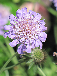 Butterfly Blue Pincushion Flower (Scabiosa 'Butterfly Blue') at Sargent's Gardens